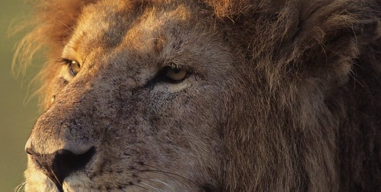 Big Cats of the Mara Conservancies. Pic by Kenneth Coe.