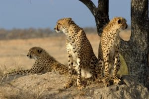 A coalition of cheetahs in Sabi Sand Game Reserve, South Africa
