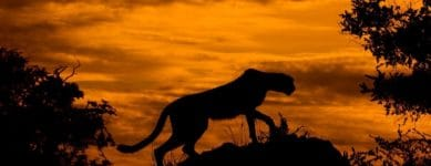 A cheetah silhouetted against a fiery sunset in Botswana