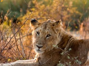 A lioness in Kruger NP