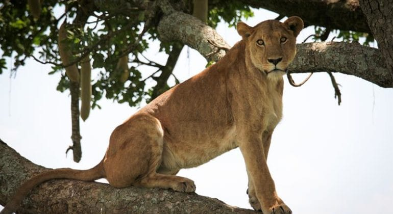 A lioness in Kidepo Valley, Uganda. Spot this and more on your Uganda Safari.