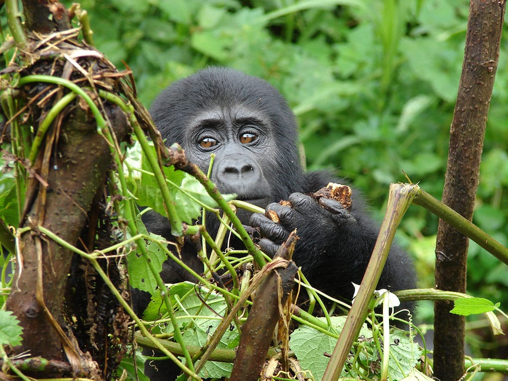 Gorilla trekking in Uganda. Bwindi Impenetrable National Park. Uganda Safari.