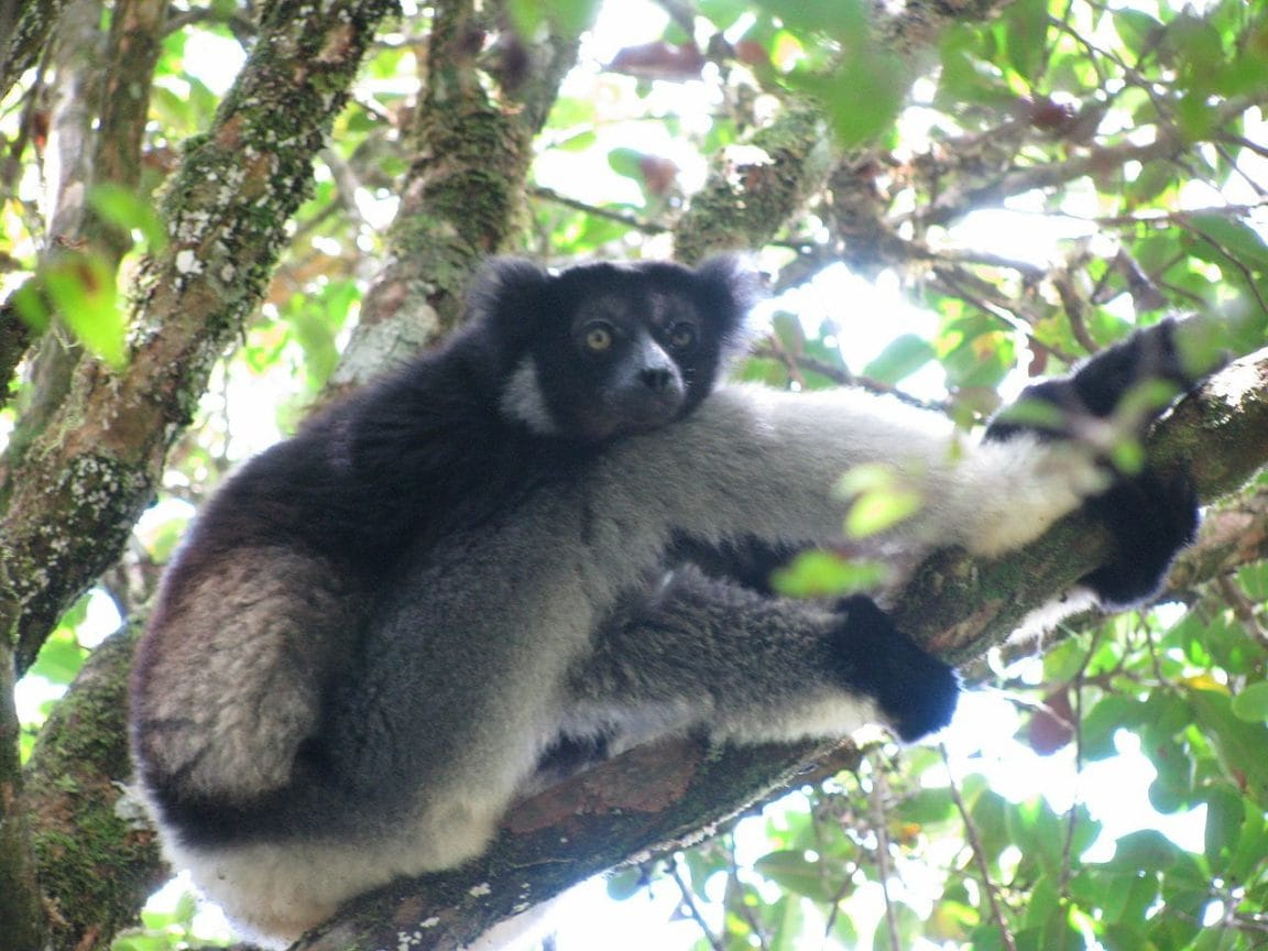 Indri resting after feeding in Andasibe-Mantadia National Park