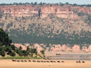 gonarezhou wildebeest crossing the runde