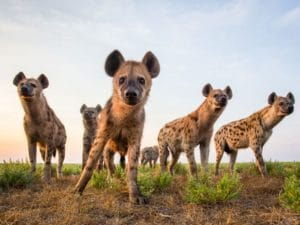 Wild dogs Liuwa Plains Zambia