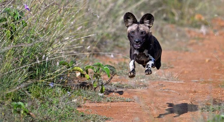 Sosian Lodge Wild Dogs, Offbeat safaris