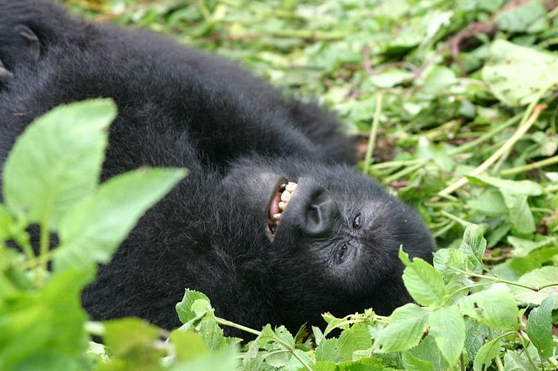 Gorilla trekking in Volcanoes National Park, Rwanda.