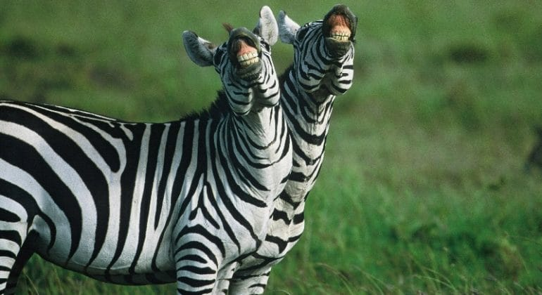 Kicheche Laughing Zebras
