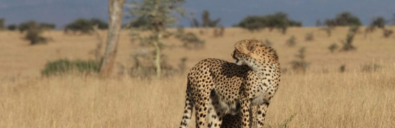 lewa wilderness cheetah