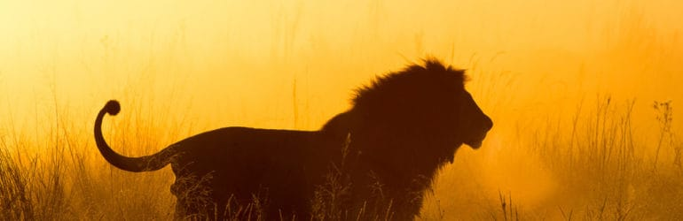 Kalahari Lion. Credit: Okavango Expeditions.
