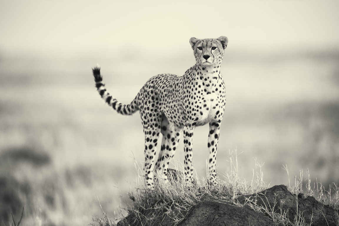 Cheetah On Kopje Serengeti Paul Joynson Hicks Bw Mr